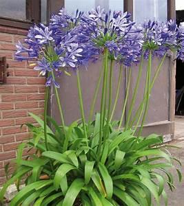 Entretien Des Agapanthes : fleurs fan es agapanthe ~ Melissatoandfro.com Idées de Décoration