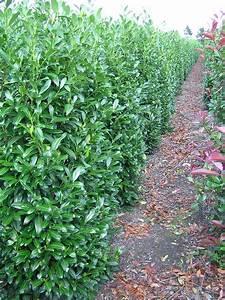 Echter Lorbeer Winterhart : kirschlorbeer prunus laurocerasus als heckenpflanze ~ Michelbontemps.com Haus und Dekorationen