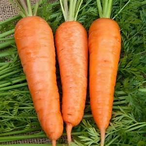 CHANTENAY CARROT 1000+ Heirloom Vegetable Seeds Sweet Old ...  Carrot