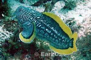 Sanopus splendidus, Splendid Toadfish