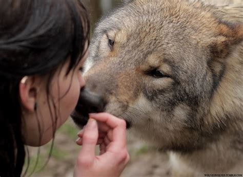 Pictures of Howling Wolf Gif Tumblr - #catfactsblog