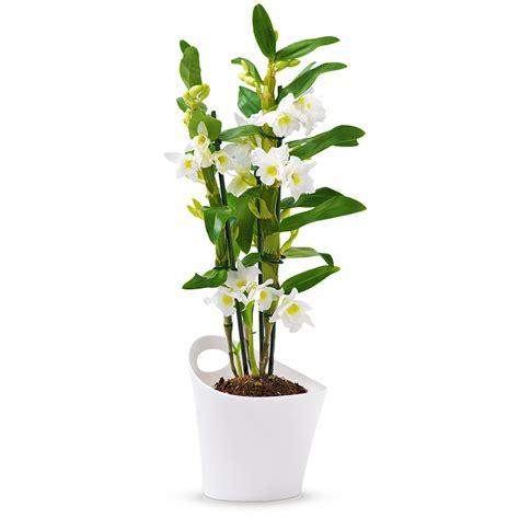 petit bureau blanc dendrobium nobile orchidée apollon blanc cadofrance
