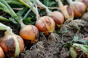 Growing Onions  U2013 Bonnie Plants