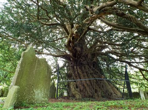 pictures of yew trees ancient yew tree in loose village kent trees woodland and forests wallpaper