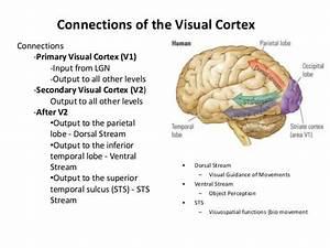 Occipital-lobe-ppt-13-638