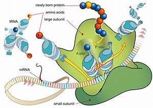 What Is The Purpose Of Protein Synthesis