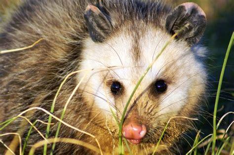 mammals tennessee  fish  wildlife service