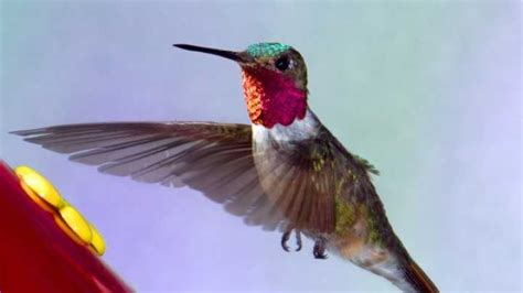 hummingbirds   efficient  helicopters