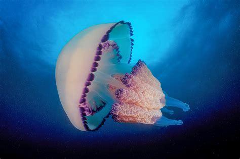 jellyfish wallpaper full desktop backgrounds