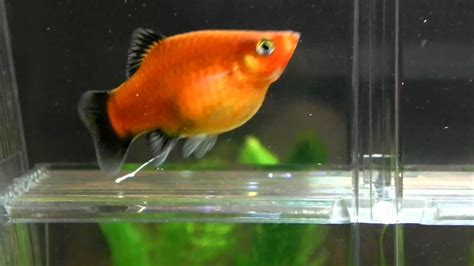 platy pregnant does fish platies birth giving they care