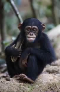 Disney Chimpanzee