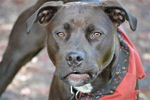 Pitweiler Dog Breed » Everything About Rottweiler Pitbull ...  Pitbull