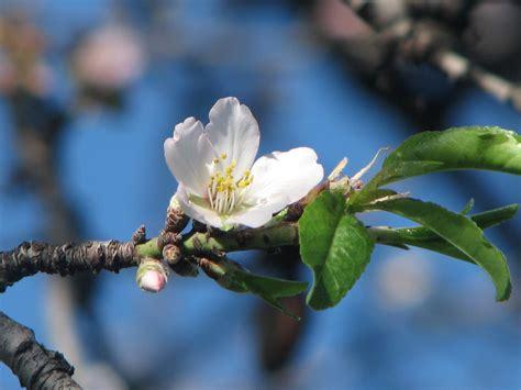 foto mandorlo in fiore gennaio con mandorlo in fiore foto immagini piante