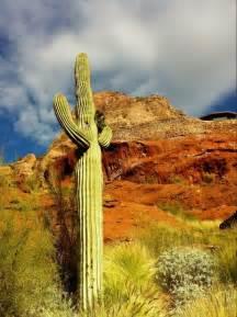 Saguaro Cactus Phoenix Arizona