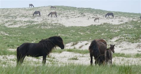 island sable horses parasite burdens heavy horse tolerate finds study invasive species conservation