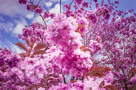 japanese trees with pink flowers free photo japanese cherry trees flowers free image on pixabay 2262980