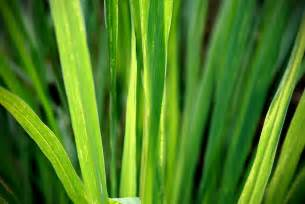 How to Grow Lemongrass From Cuttings