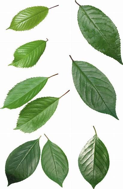 Leaf Leaves Pngimg Freepngimg Icon Res Nature