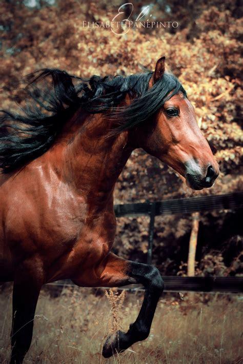 horse andalusian spanish raza pura bay yeguada stallion horses centurion aqualia espanola cen andaluz friesian