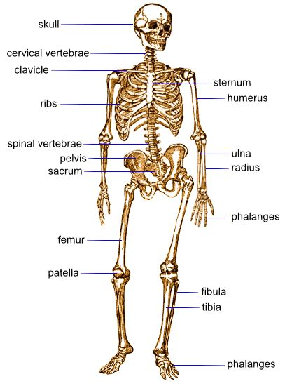 There are 206 bones in the human body. City Distributers: Human Bones and Muscles