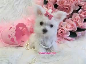 Micro Teacup White Yorkie Puppies Sale
