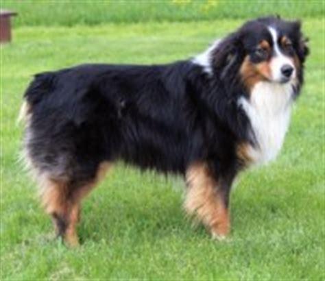 Australian Shepherd Dog Breeders In Indiana Freedoglistings