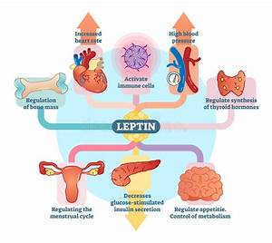 Leptin Hormone Effects Stock Vector  Illustration Of