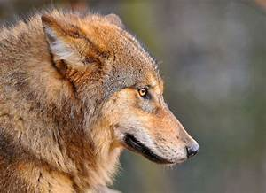 Another wolf profile portrait... | ...and last one for now ...