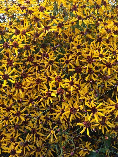 coreopsis mardi gras plantfiles pictures plains coreopsis calliopsis tickseed mardi gras coreopsis tinctoria