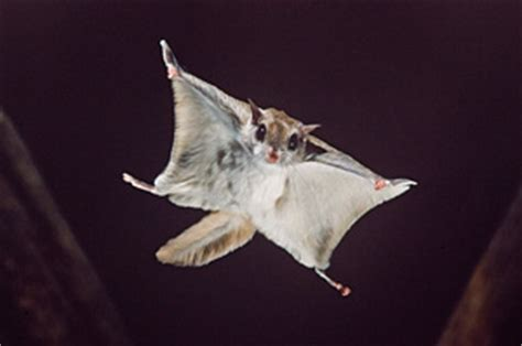 flying squirrels  maryland brody brothers pest control