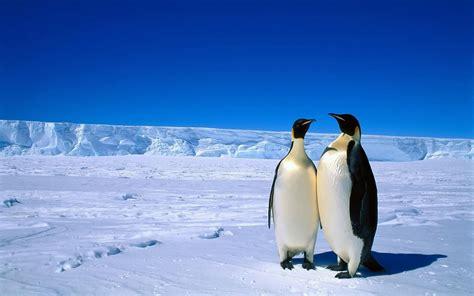Pinguin Achtergronden  Hd Wallpapers