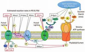 Photochemical Reactions Of Photosynthesis Are Connected By
