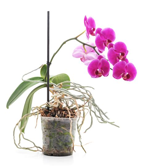 Orchideen Kindel Einpflanzen kindel bei orchideen stamm und stielkindel sind klone