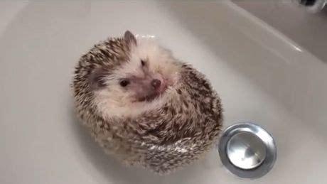 bureau boule un bébé hérisson se transforme en bateau dans bain