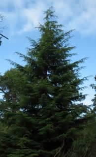 western hemlock tsuga heterophylla