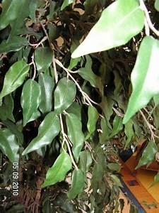 Büro Pflanzen Pflegeleicht : dekorativer kunststoff ficus im silberfarbenen bertopf f r wohnung oder b ro in h nstetten ~ Michelbontemps.com Haus und Dekorationen