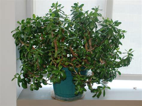 jade plant jade plant crassula ovata