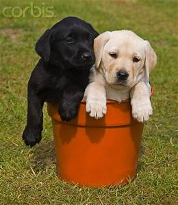 Black and white Labrador puppies in flower pot...just to ...