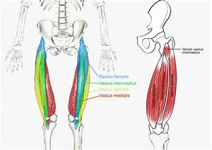 Muscles Of The Hips And Thighs