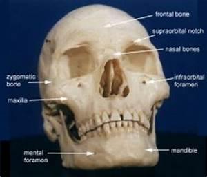Axial Skeleton - Facial Bones (Bone Markings) Flashcards ...