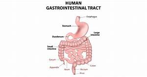All About The Upper Gi Tract