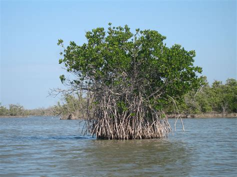 Florida mangroves - Wikipedia