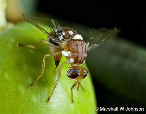 http://cisr.ucr.edu/olive_fruit_fly.html
