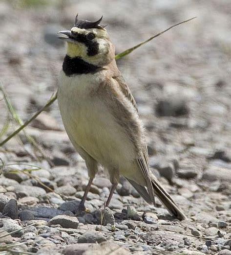 photo streaked horned lark courtesy  rod gilbert