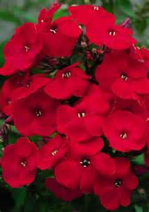 Red Phlox Flowers