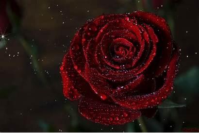 Rose Dark Reddit Beginning Fresh Roses Gifs