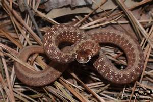 Light Chart Dekay 39 S Brownsnake A Guide To Snakes Of Southeast Texas