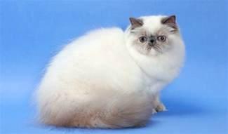 himalayan cat for himalayan cat breed information