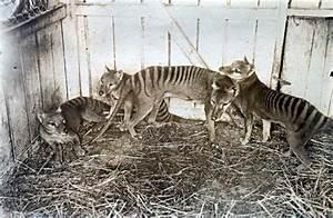 Tasmanian tiger 'sightings' prompt new scientific hunt ...