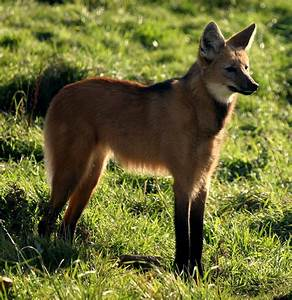 the Graceful Maned wolf - ThingLink